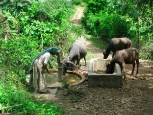 watering_buffalo
